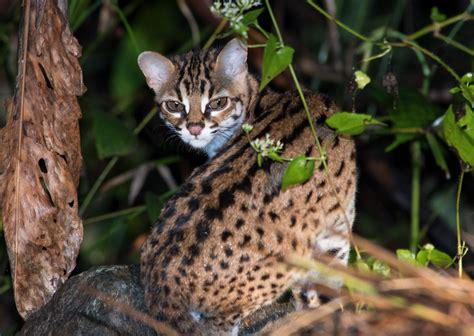 Borneo is home of some of the world's most elusive cats